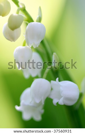 Convallaria majalis, or lily of the valley blooming close up - stock photo