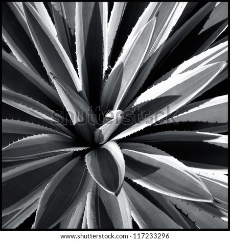 Converging tropical leaves in black and white