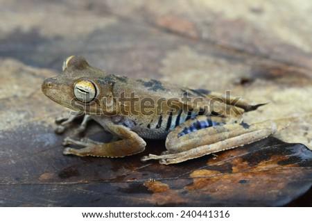 Convict tree frog (Hypsiboas calcaratus) - stock photo