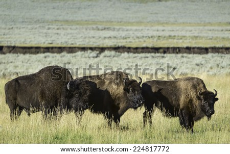 Cooke City, Montana, USA - Bison graze on the plains of Yellowstone National Park on a bright sunny morning flanked by forests near Cooke City, Montana, USA. - stock photo