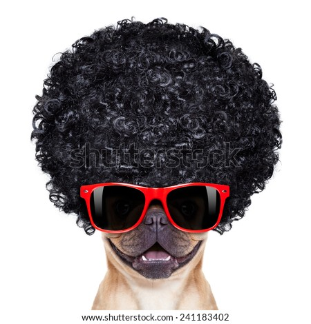 cool french bulldog with sunglasses wearing a black afro look curly wig , smiling at you, isolated on white background - stock photo