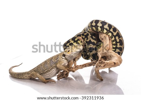 Cool good pet lizard on a white background excellent photos for advertisement shop or TV about animals