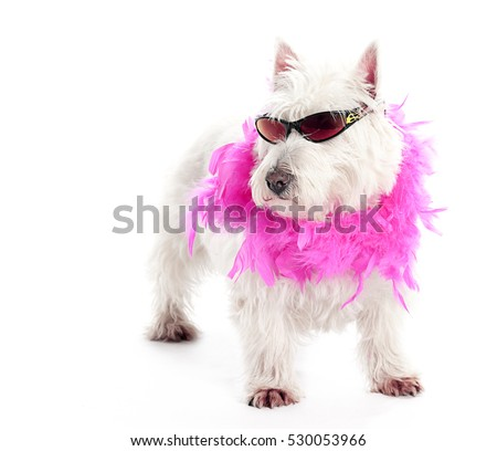 Cool looking West Highland Terrier with pink scarf shot in a studio and isolated on a white background