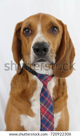 Coonhound wearing a tie, dog dresses up