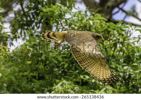Cooper Hawk. - stock photo