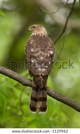 Cooper's hawk Accipiter cooperii - stock photo