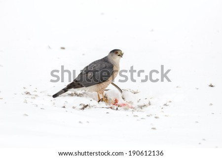 Cooper's Hawk feeding on what appears to be a Mourning Dove - stock photo