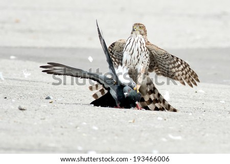 Cooper's Hawk holding a Rock Pigeon on pavement. - stock photo