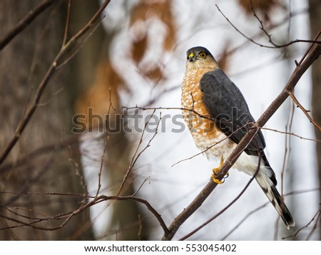 Cooper's Hawk perched on limb on cold winter's morning.