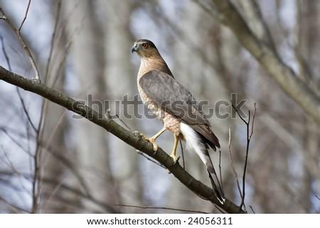 Cooper's Hawk Perched on Tree Limb - stock photo