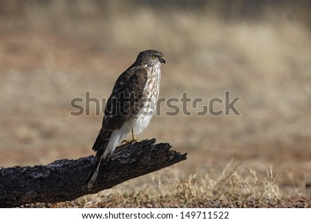 Coopers hawk, Accipiter cooperii, juvenile, Arizona, USA, winter             - stock photo