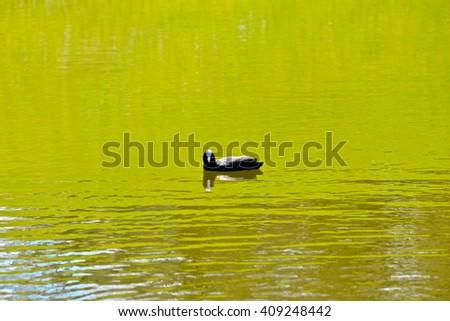 Coot, bird in green water - stock photo