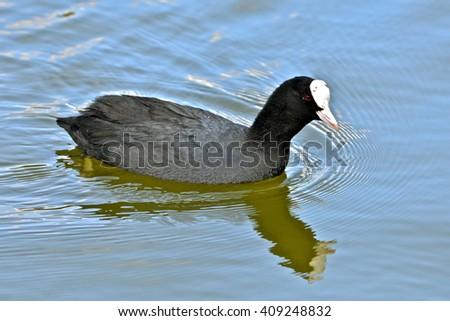 Coot, bird swimming - stock photo