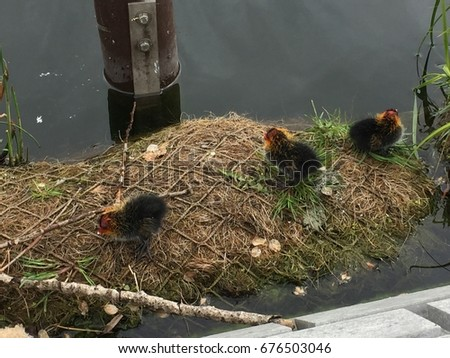 Coot chickens in nest