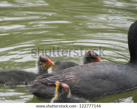 Coot Chicks. - stock photo