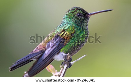 Copper-rumped Hummingbird (Amazilia tobaci) - Tobago Forest Reserve - stock photo