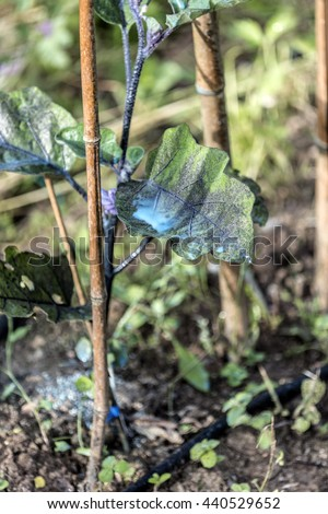 Copper sulphate on aubergine plant leaves - stock photo