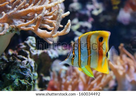 Copperband Butterflyfish (Chelmon rostratus), also commonly called the Beak Coralfish, is found in reefs in both the Pacific and Indian Oceans - stock photo