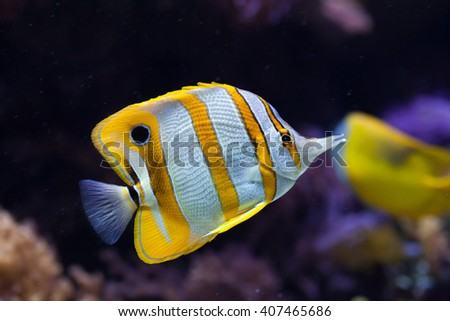 Copperband butterflyfish (Chelmon rostratus). Wild life animal.  - stock photo