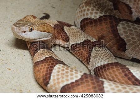 copperhead snake - stock photo
