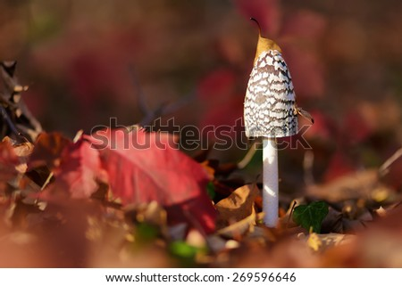Coprinus Comatus is a comestible mushroom growing in autumn - stock photo