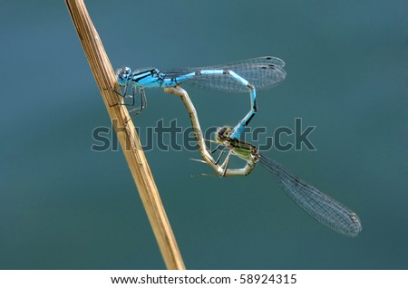 Copulating dragonflies - stock photo