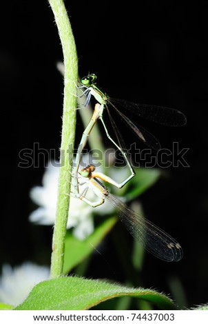 Copulating dragonflies