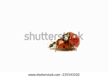 Copulating Lady bugs