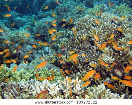 Coral and anthias - stock photo