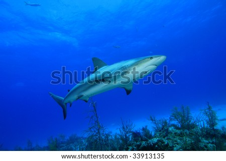 Coral and Caribbean Reef Shark