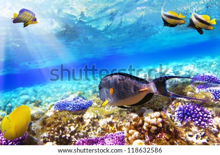 Coral and Fish-surgeon  in the Red Sea. Egypt, Africa - stock photo