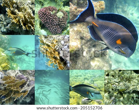 Coral and tropical fish in the Red Sea, Egypt, Africa. Collage. - stock photo