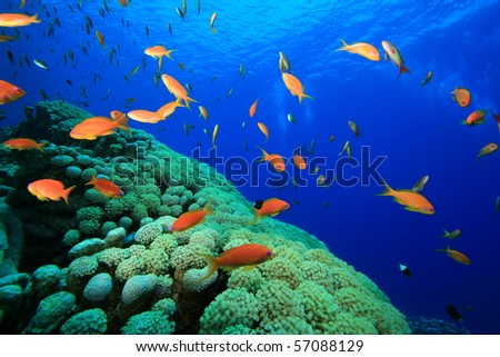 Coral, Anthias and Scuba Divers in background