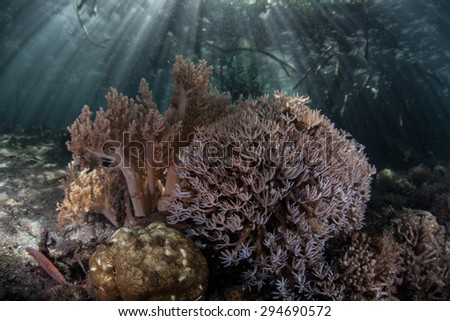 Coral colonies grow near the edge of a mangrove forest in Raja Ampat, Indonesia. This remote region is one of the most biodiverse areas on Earth for marine organisms.  - stock photo