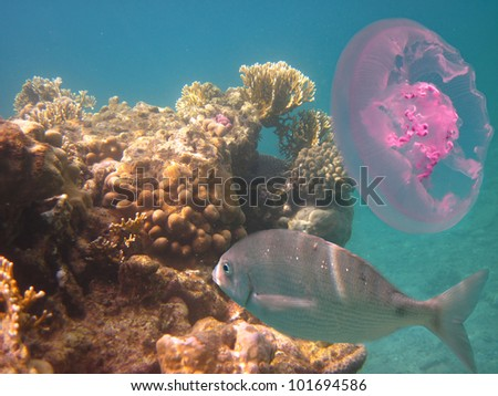 coral fish and jellyfish in the Red Sea - stock photo