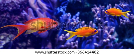coral fish - Pseudanthias squamipinnis - stock photo