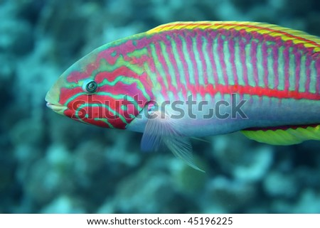 Coral fish Thalassoma Klunzingeri (Klunzinger's Wrasse) nearby a coral reef of the Red sea - stock photo