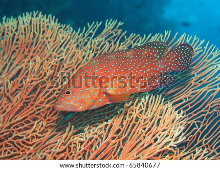 Coral Grouper Cephalopholis miniata - stock photo