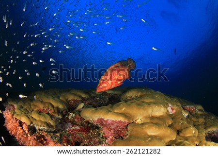 Coral Grouper fish on underwater ocean reef - stock photo