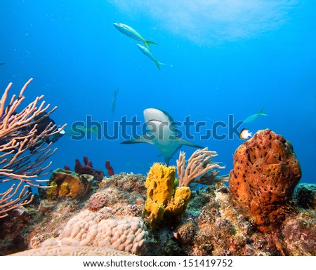 Coral reef and Caribbean reef shark