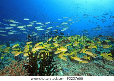 Coral reef and fish in the indian ocean - stock photo