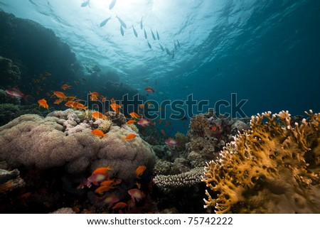 coral reef and fish in the Red Sea. - stock photo