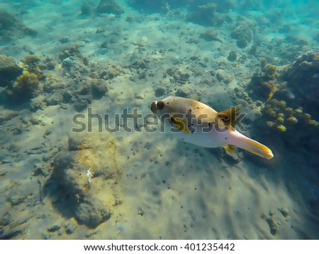 Coral reef and pufferfish, underwater landscape, coral reef fish, fugu fish, dangerous fish with poison, sea world animal, underwater animal, sea bottom with corals and fishes, puffer fish closeup - stock photo