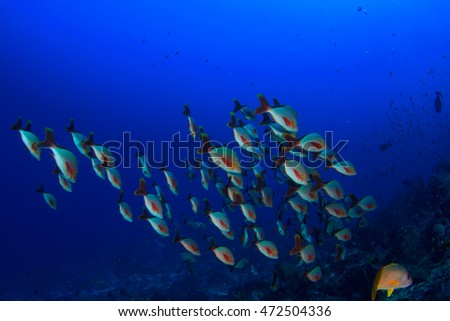 Coral reef fish. Red Snappers school.