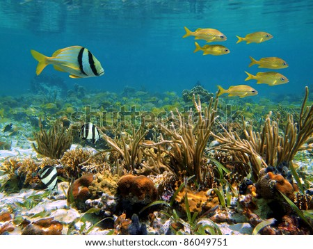 Coral reef in the Caribbean sea with school of tropical fish