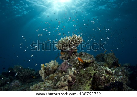 Coral Reef Under The Sunlight surrounded by small fish in Red Sea, Egypt. / Coral Reef - stock photo