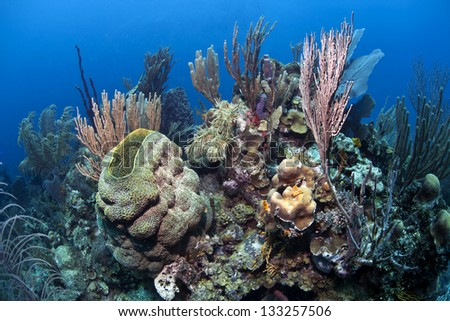 Coral reef underwater, Neofibularia nolitangere, the touch-me-not sponge, is a species of demosponge in the family Desmacellidae.