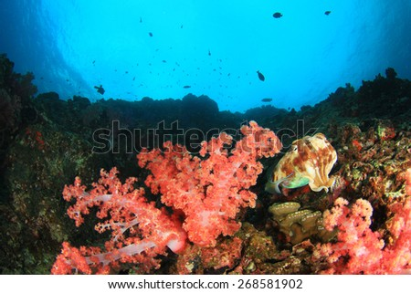 Coral reef underwater with cuttlefish - stock photo