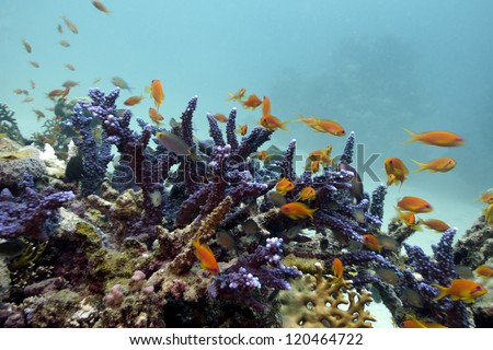 coral reef with blue hard coral and exotic fishes Anthias on the bottom of red sea