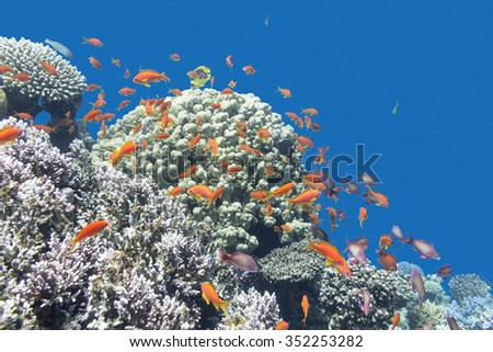 coral reef with exotic fishes Anthias at the bottom of tropical sea on a background of blue water - stock photo